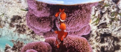 clown_anemonefish_mirror.jpg